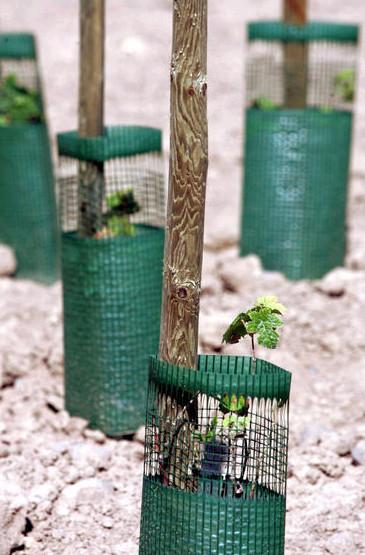 2005年9月7日,法国东部城市科玛,法国国立农业研究中心种植的转基因(OGM)葡萄树。