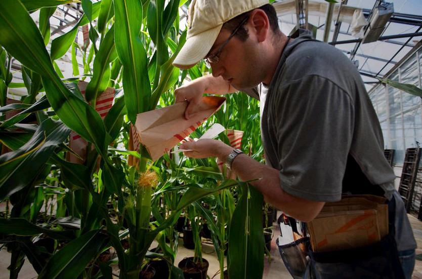 2009年5月21日,美国圣路易斯,植物专家达斯汀•麦克马洪在孟山都总部的温室里给转基因玉米植株授粉。