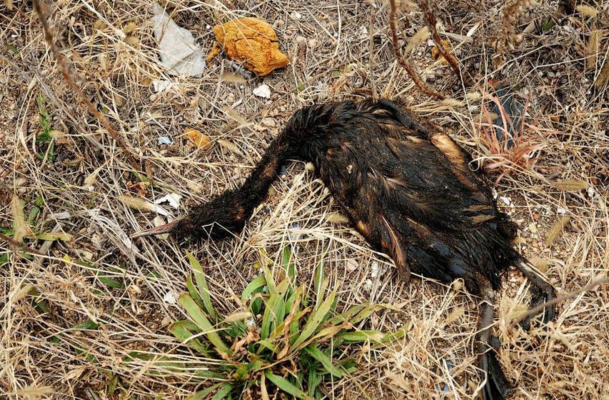 一只沾上泄露原油的海鸟死在海岸边
